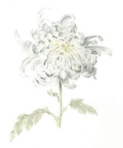 Chrysanthemum-paint