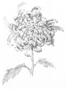 Chrysanthemum-sketch