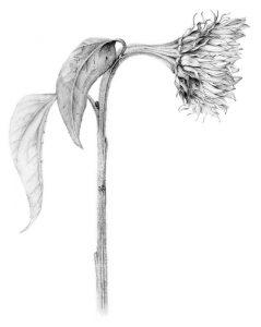 Sunflower w: fade 2