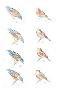 bird-sketches
